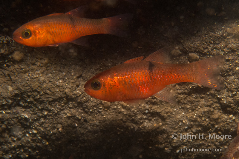 Pink Cardinalfish (Apogon pacificus) hide in a small cave near the top of the La Jolla Submarine Canyon.  La Jolla, California, USA.