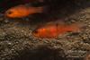 Pink Cardinalfish (Apogon pacificus) hide in a small cave near the top of the La Jolla Submarine Canyon.  La Jolla, California, USA.