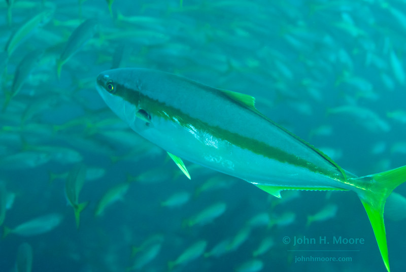 A Yellowtail (Seriola lalandi) flashes through a school of Jack Mackerel (Trachurus symmetricus).  La Jolla Cove.  La Jolla, California, USA.