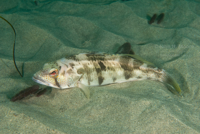 A spotted sand bass (Paralabrax maculatofasciatus) in the sand flats above La Jolla Submarine Canyon.  La Jolla, California, USA