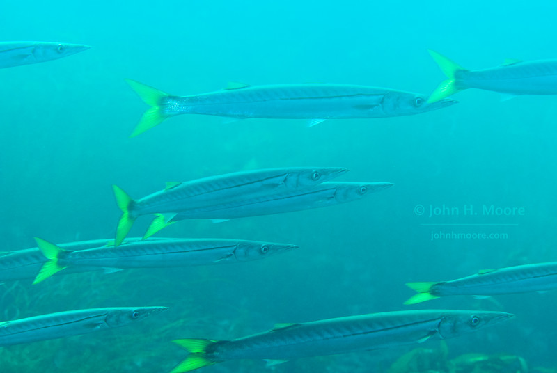 A school of Pacific Barracuda (Sphyraena argentea) swims in 20 feet of water off La Jolla Cove.  La Jolla, California, USA.