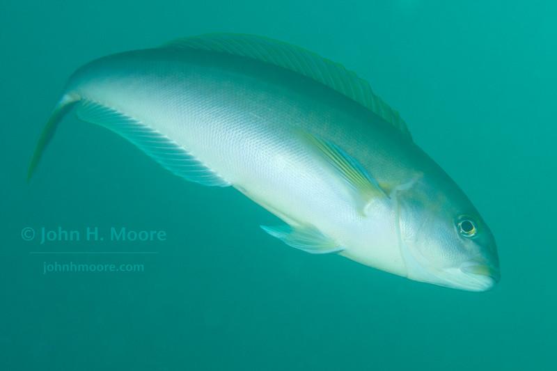 An Ocean Whitefish (Caulolatilus princeps) in La Jolla Submarine Canyon.  La Jolla, California, USA.