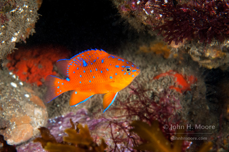 Juvenile Garibaldi (Hypsypops rubicundis) at La Jolla Cove.  La Jolla, California, USA.