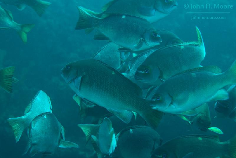 Opaleye (Girella nigricans) in the kelp off La Jolla Cove.  La Jolla, California, USA