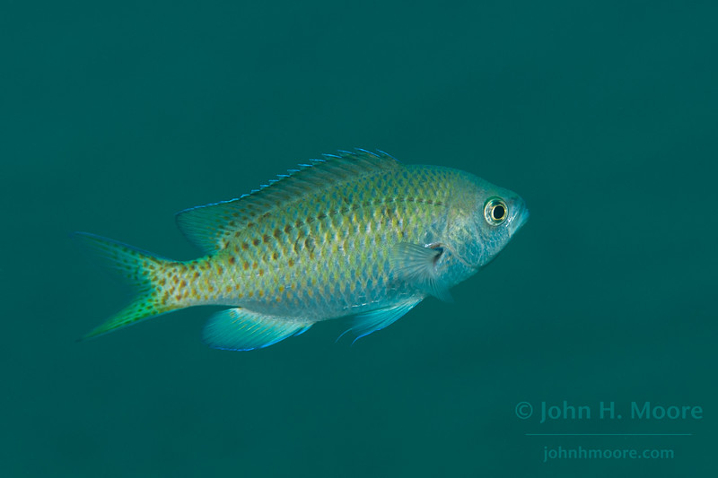 A juvenile Blacksmith (Chromis punctipinnis).  La Jolla, California, USA.