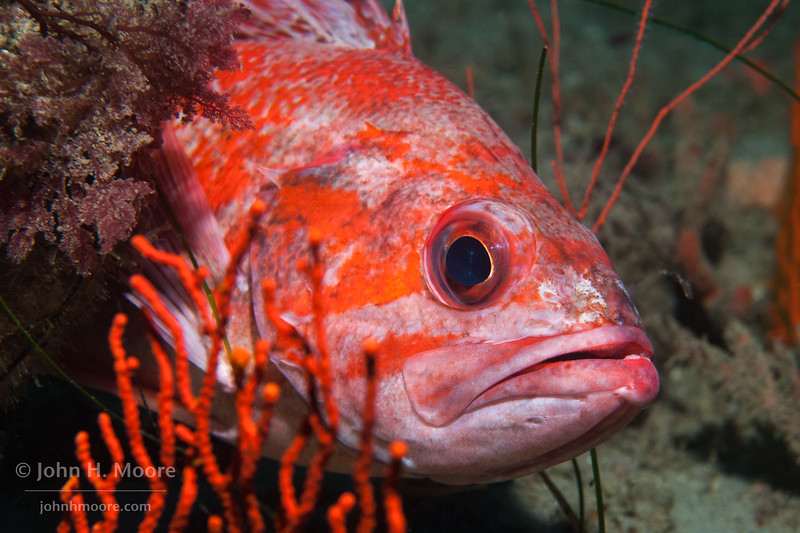 A Vermilion Rockfish (Sebastes miniatus) hiding behind an orange gorgonian in the La Jolla Submarine Canyon.  La Jolla, California, USA.