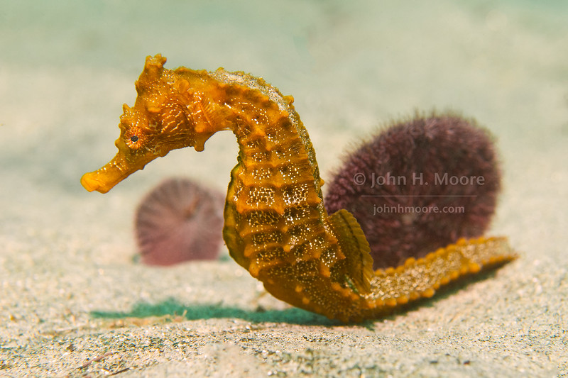 A Pacific Seahorse (Hippocampus ingens) hangs on to a Sand Dollar (Dendraster excentricus) off La Jolla, California, USA.