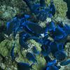 Blue Tangs