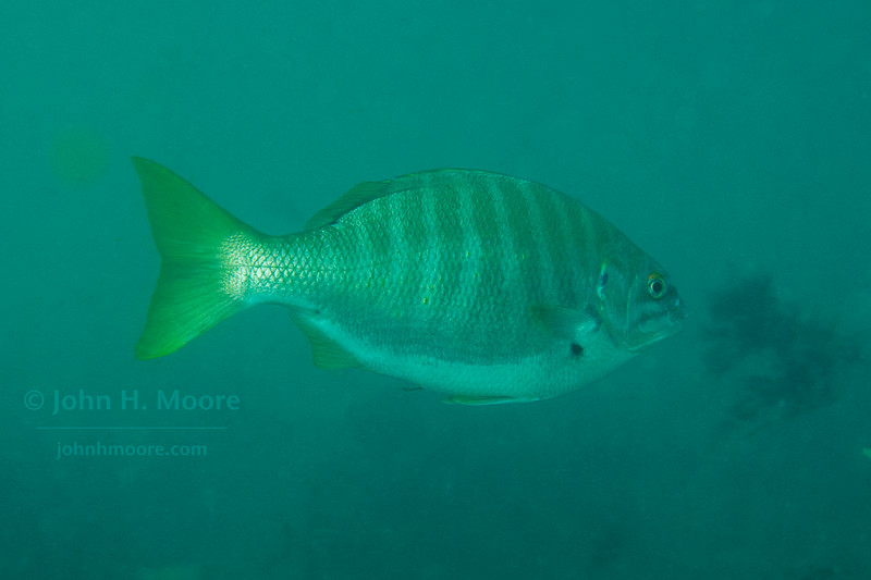 Zebra Perch (Hermosilla azurea) in several feet of water at La Jolla Cove.  La Jolla, California, USA
