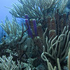 Gorgonian Soft Coral and Tube Sponges