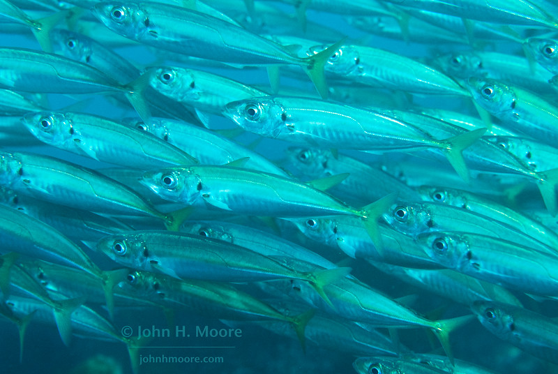 A polarized school of Jack Mackerel (Trachurus symmetricus).  La Jolla, California, USA.