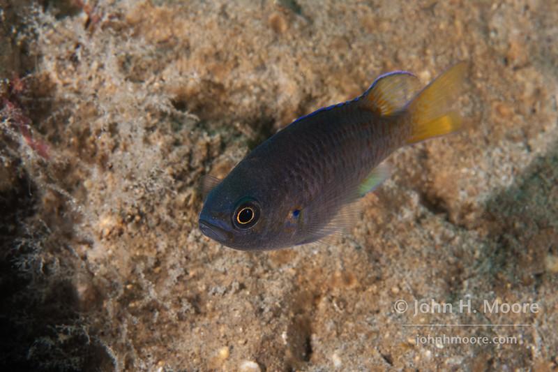 A juvenile Blacksmith (Chromis punctipinnis).  La Jolla Submarine Canyon, La Jolla, California, USA.