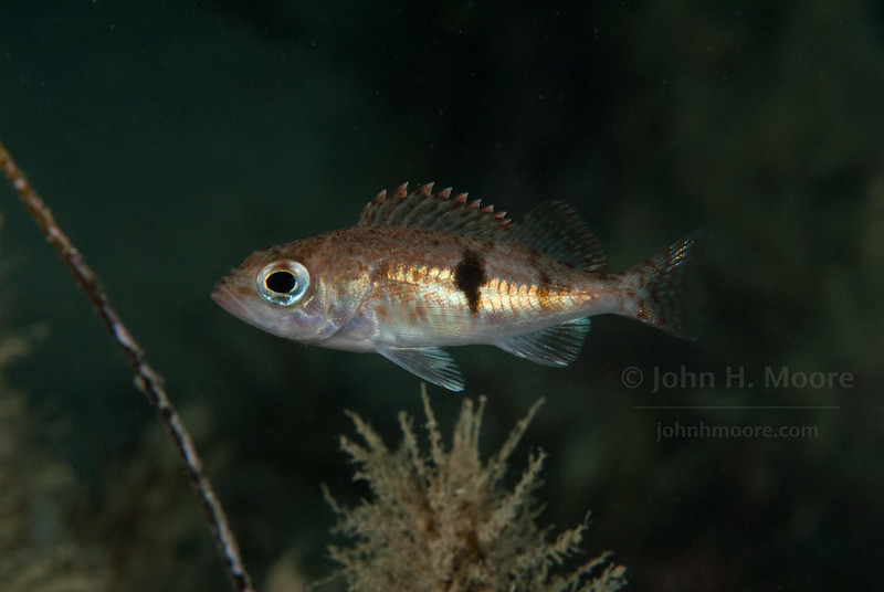 A juvenile Halfbanded Rockfish (Sebastes semicinctus) at 110 feet in the La Jolla Submarine Canyon.  La Jolla, California, USA.