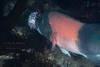 A male California Sheephead (Semicossyphus pulcher) flees from other fish with its catch of a Purple Sea Urchin meal (Strongylocentrotus purpuratus).  La Jolla Cove.  La Jolla, California, USA.