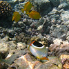 Butterfly Fish and Yellow Tangs