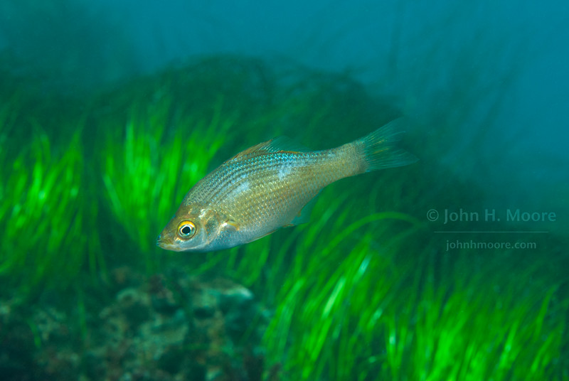 A Kelp Perch (Brachyistius frenatus) in surf grass off La Jolla Cove.  La Jolla, California, USA.