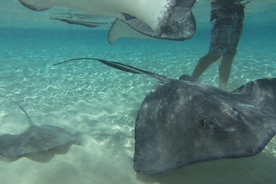 Southern Stingray. Stingray City Grand Cayman