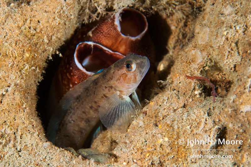 A Ronquil (Family Bathymasteridae) hides in hole in La Jolla Submarine Canyon.  La Jolla, California, USA.