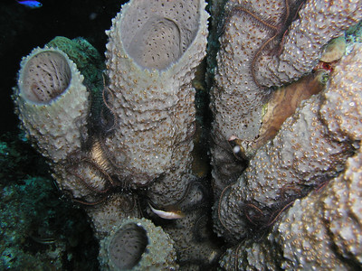 Tube Sponge crawling with Brittle Stars