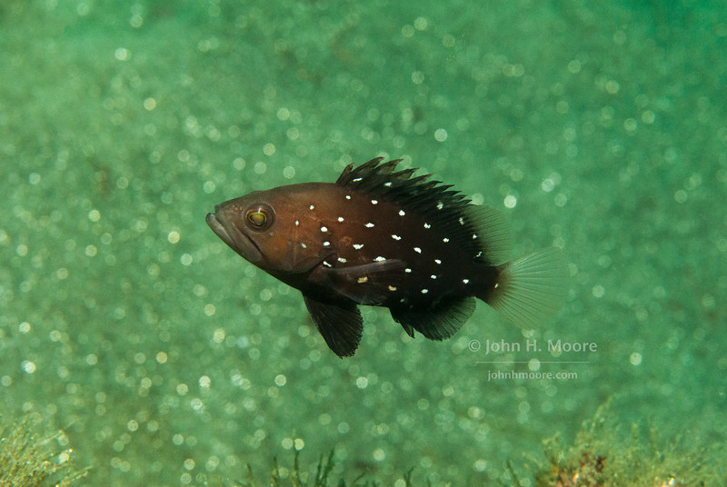 A juvenile Star-Studded Grouper (Hyporthodus niphobles).  La Jolla Submarine Canyon, La Jolla, California, USA.
