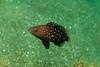 A juvenile Star-Studded Grouper (Hyporthodus niphobles).  La Jolla Submarine Canyon, La Jolla, California, USA.