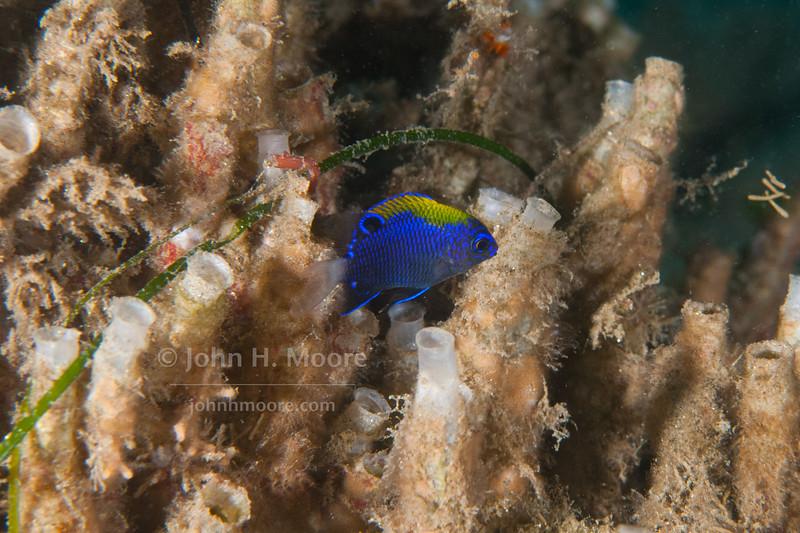 Juvenile Whitetail Damselfish (Stegastes leucorus).  La Jolla Submarine Canyon, La Jolla, CA, USA.