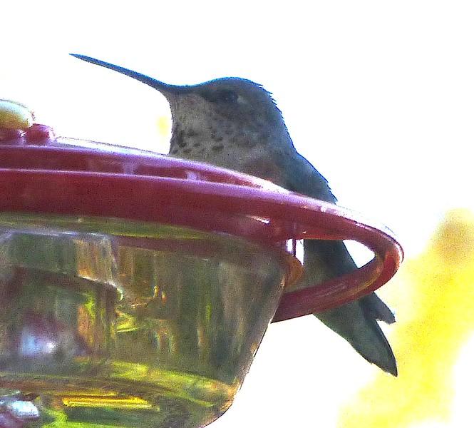 P141RufousTxgDay332 Nov. 27, 2014  8:34 a.m.  P1410332 Rufous Hummingbird, Selasphorus rufus, at 2601.