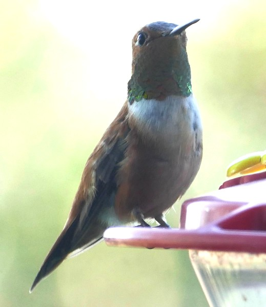 P153SelasphorusRufus410 Jan. 15, 2016  3:32 p.m.  P1530410 It's a gray day so I should have used the flash on this Rufous Hummer, Selasphorus rufus, on a feeder at 2601.  The gorget is red-orange.