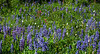 Alpine Lupine Meadow