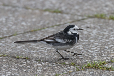 Pied (White) Wagtail
