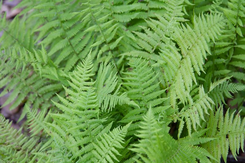United States Ferns