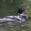 Red-breasted Merganser 23 June at Short Creek near Guntersville