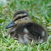 One of the ducklings that the White-cheeked Pintal is defending.