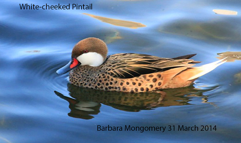 White-cheeked Pintail at Big Spring Park.