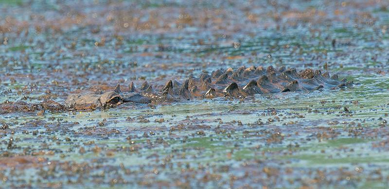Alligator at Blackwell Swamp