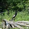 Anhinga 4 July at Blackwell Swamp, Wheeler National Wildlife Refuge