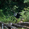 Anhinga 4 July at Blackwell Swamp, Wheeler National Wildlife Refuge