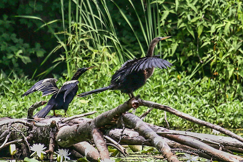 Anhingas 4 July at Blackwell Swamp, Wheeler National Wildlife Refuge