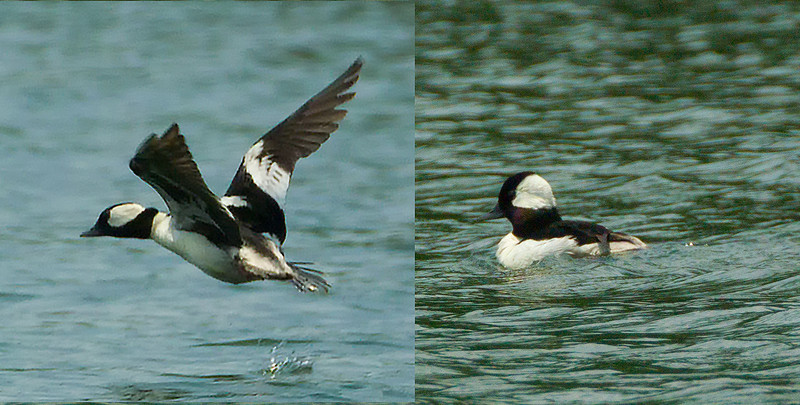 Bufflehead 15June at Guntersville