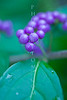 8x10 only 9.99 8x10 only 9.99 These photos were taken with a Canon 50D and a legacy Nikon 55mm Macro lens at f/2.8  Purple berry bush