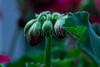 Geranium triple bud