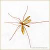 Crane fly...
