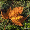 Leaf in the Grass...
