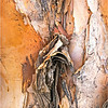 Paperbark Tree...