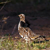 Male Ruffed Grouse Minong WI at our cabin