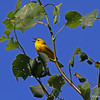 Yellow Warbler at Wisconsin Point