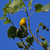 Yellow Warbler in song at Wisconsin Point