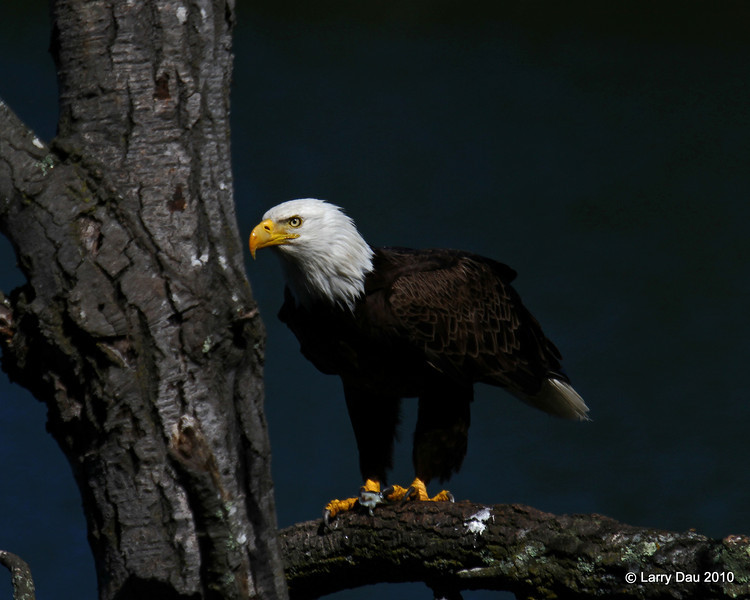 Bald Eagle Eating Bluegill in Tree Near Our Cabin - Minong WI