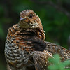 AnotherView Of Female Grouse