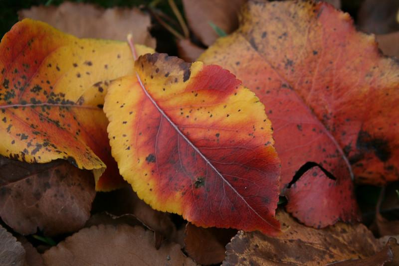 Fall Leaves 2006 (2)